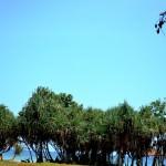 red island tree
